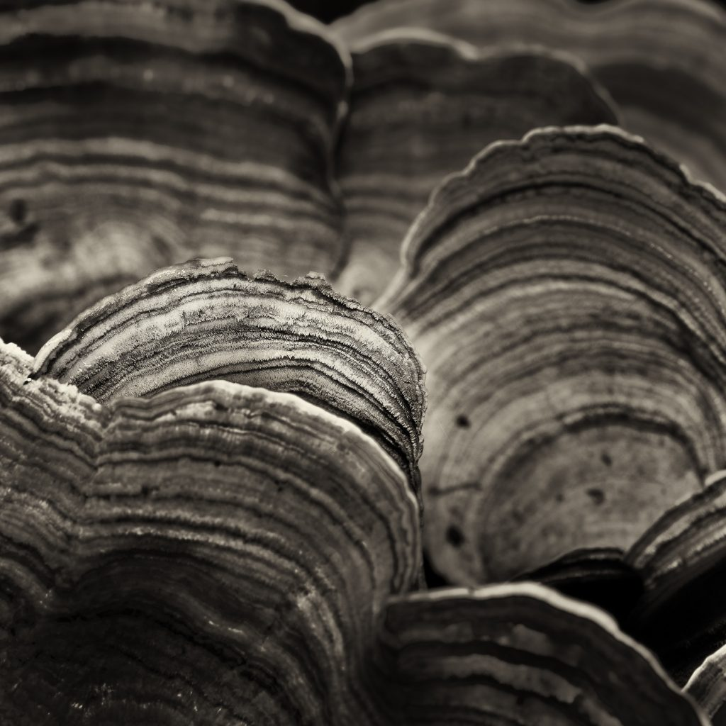 Abstract shot of Turkey Tail Fungus.