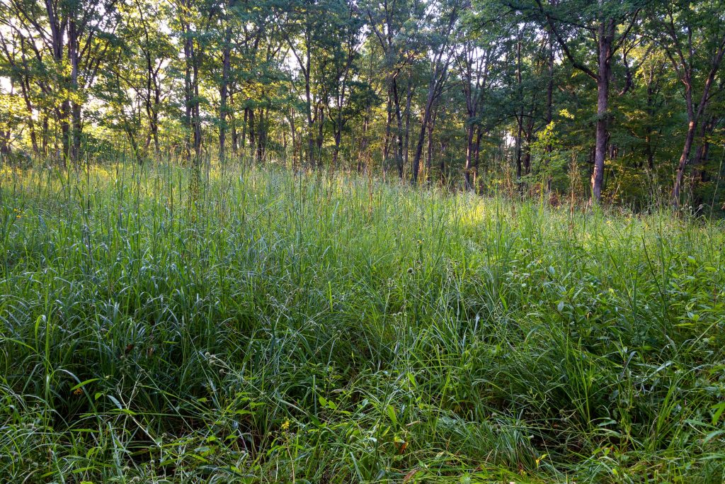 An opening in the forest dominated by tall grasses and wildflowers.