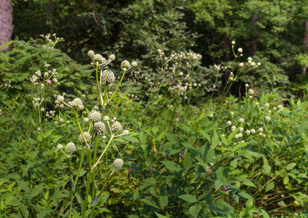 A patch of wildflowers in the sun. The wildflowers, called Rattlesnake Master, are prickly white balls on tall green stems.