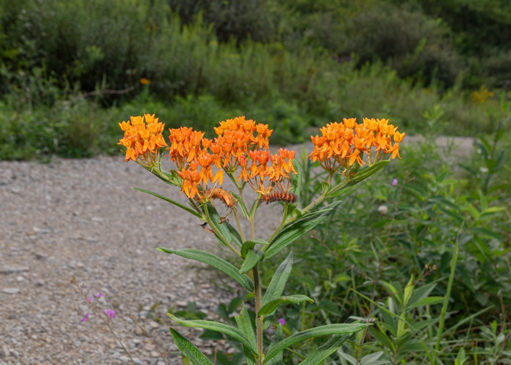 The orange flowers of Butterflyweed, with two Unexpected Cycnia caterpillars feeding on it.