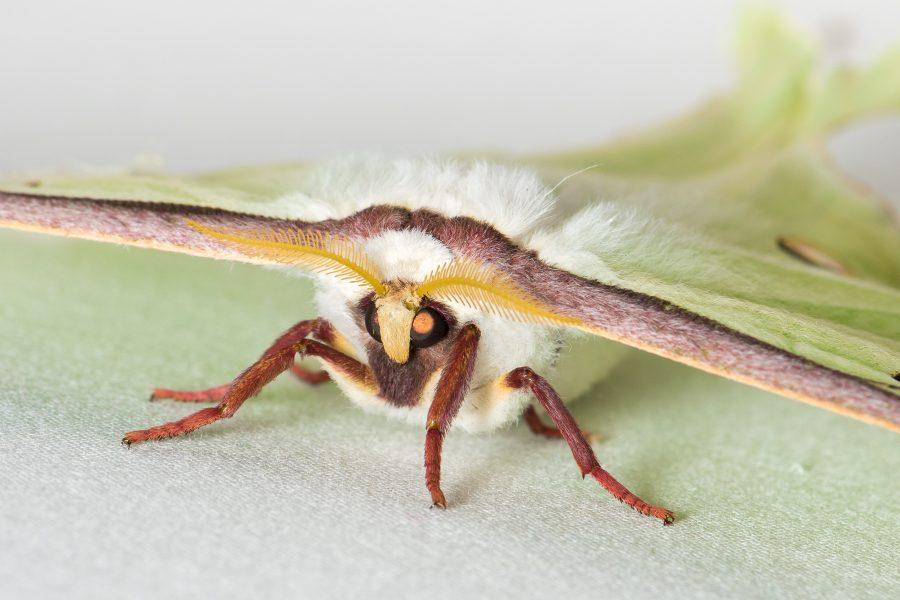 A closeup of a Luna Moth's face.