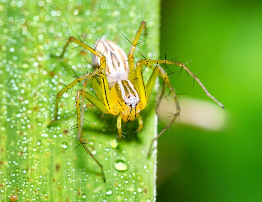 A green and yellow Striped Lynx Spider (Oxyopes salticus) sitting on a blade of grass.