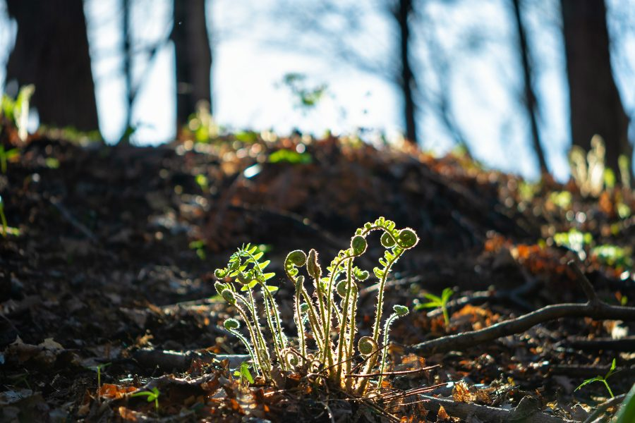 A bunch of fern fiddleheads growing on the side of a hill, backlit by the sun.